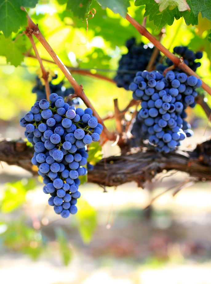 Grapes on a vine at a wine orchard.
